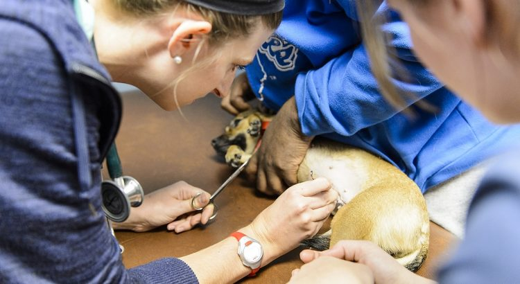 University of Wisconsin-Madison School of Veterinary Medicine students Melissa Hayes (right) and Lindsey Meyer (left) remove stitches during a check-up visit with Tina and her owners at a Wisconsin Companion Animal Resources, Education and Social Services (WisCARES) clinic in Madison on Oct. 24, 2015. The WisCARES program seeks to provide holistic health care and housing support to Dane County's disadvantaged residents and their pets.(Photo by Bryce Richter / UW-Madison)